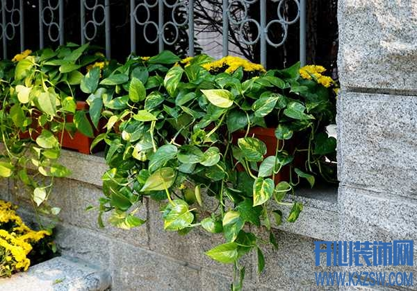 植物养护知识,令人羡慕不已的大绿萝,爬满整个家的夏季降温高招