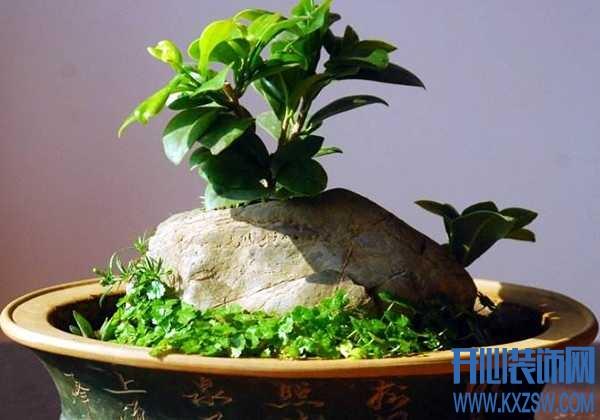 榕树盆景栽种时需要注意什么?小榕树盆栽的虫害问题该如何解决