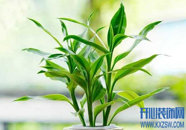 """你不知道的富贵竹""""亲民""""的水培方法,让植物养护不再是""""天方夜谭"""""""