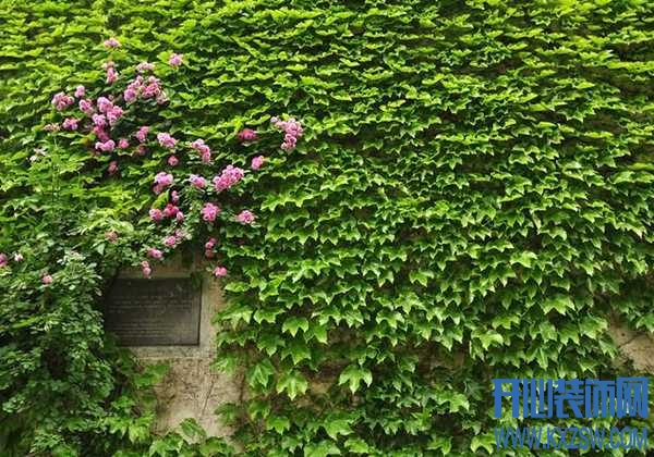 可以入画的室外墙爬藤,夏日里遮阴避阳能力满分