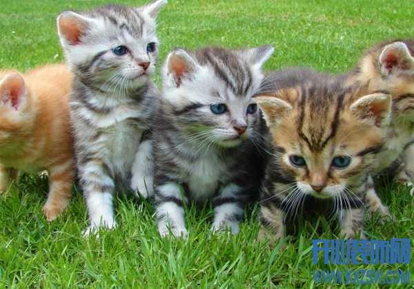 中华田园猫和日本田园猫有什么区别?两种猫咪的优缺点分析