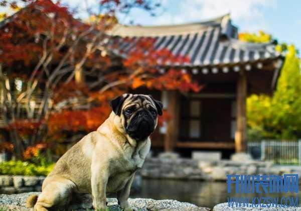 巴哥犬该如何补钙?巴哥犬缺钙的现象,多晒太阳可以补钙吗