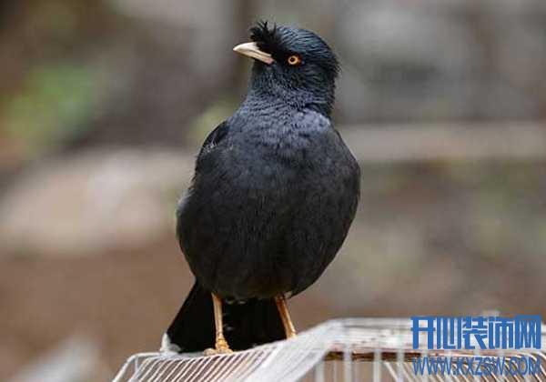 教八哥鸟学舌需要注意什么,八哥鸟如何进行吃食训练?