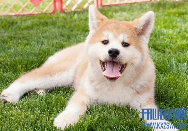 秋田犬的毛发该如何打理?毛色与狗狗健康有关系吗,秋田犬毛发打理的频率