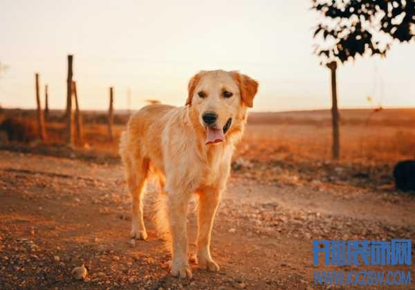 第一次养狗该选择哪些类型?金毛犬适合新手饲养吗,除此之外还有哪些值得推荐