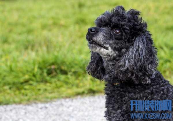 哪些宠物体型较小?长不大的狗狗类型推荐,博美犬的特点有哪些