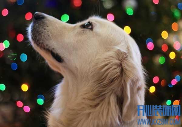 金毛与金毛寻回犬和金毛猎犬的区别,饲养金毛时需要注意什么