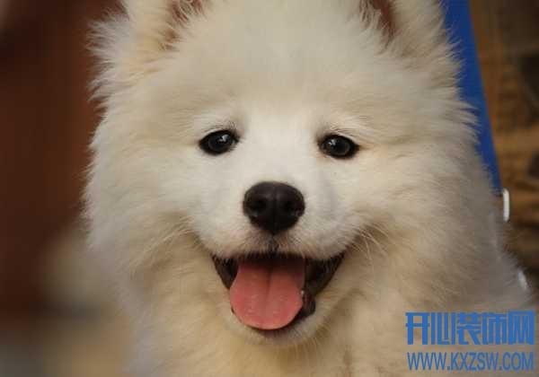如何才能选择一只好的萨摩耶犬?纯种萨摩耶犬的特征有哪些
