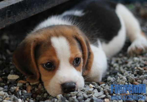 哪些宠物狗不能选择?狗狗有泪痕是什么原因,宠物狗的挑选技巧